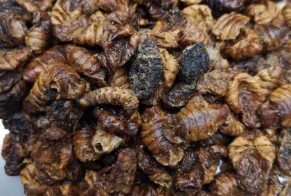 Insekten-Snacks Seidenspinnerpuppen